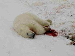 Toter Bär